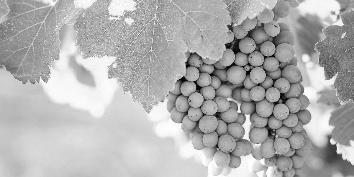 wijndruiven